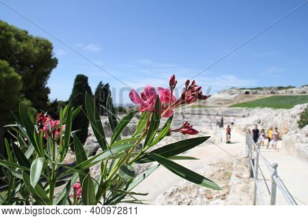 Pink Oleander With Green Leaves And In The Background The Ancient Amphitheater In Syracuse