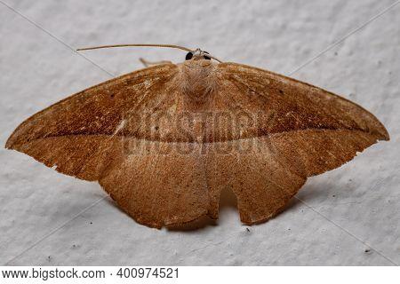 Adult Geometer Moth Mimicking A Dry Leaf