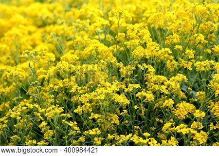 Densely Planted Basket Of Gold Or Aurinia Saxatilis Or Goldentuft Alyssum Or Golden Alyssum Or Golde