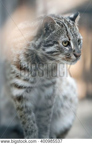 Leopard Bengal Cat. Prionailurus Felis Bengalensis Euptilura - Wild Animal Live In Tropical Rain For