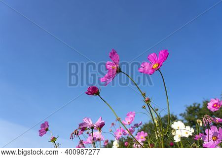 Pink Cosmos Flower Blooming Cosmos Flower Field With Blue Sky, Beautiful Vivid Natural Summer Garden