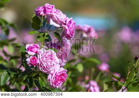 Coral Rose Flower In Roses Garden. Top View. Soft Focus,rose Flower On Background Blurry Pink Roses