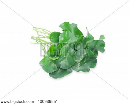 Asiatic Leaves Or Gotu Kola Isolated On White Background. Benefit High Vitamin A, Reduce Blood Sugar