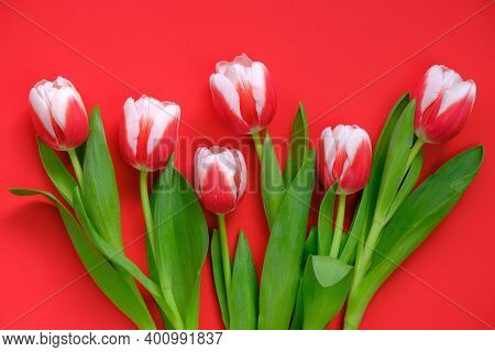 Tulips Flowers.red-white Tulips On A Bright Red Background.spring Flowers Background.flower Card. Bl