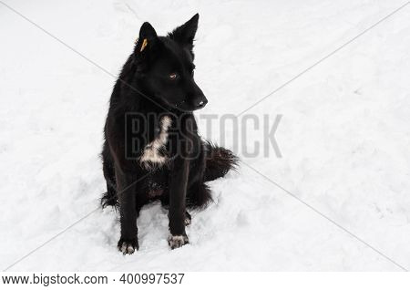 A Stray Black Dog With A Special Tag Or Clip On The Ear. Special Yellow Clip With The Characters. So