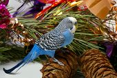 Blue parrot sits cedar big shot on background of the decorated fir tree poster
