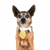 a chihuahua wearing a tie poster