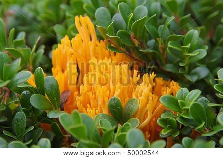 Bright Orange Fungus (calocera Viscosa)