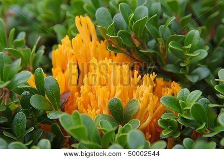 Bright Orange Fungus (calocera Viscosa)
