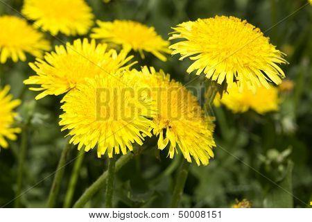 Yellow Dandelions In Meadow