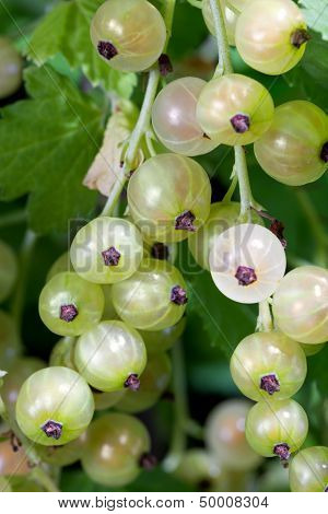 White Currant Berries