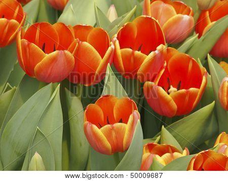 Bloom Orange Tulip