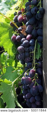 Bunch Of Grapes Hanging On The Stalk In The Vineyard