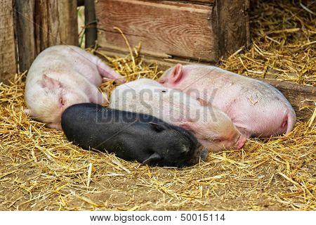 Pot bellied piglets sleeping in the straw.