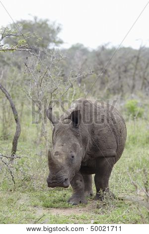 Rhinoceros walks in African plains