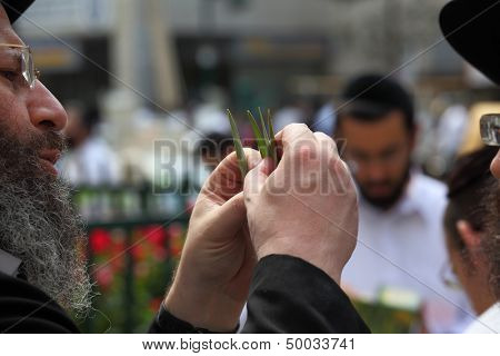 BNEI-BRAK, ISRAEL - SEPTEMBER 22: An old orthodox Jew chooses ritual plant Lula before Sukkot September 22, 2010 in Bnei Brak, Israel