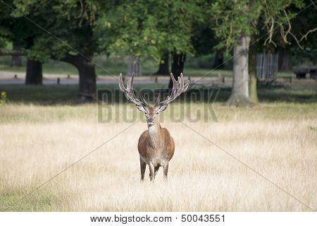 Red Deer Stag In Summer Field Landscape