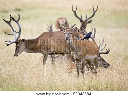 Red Deer Stag Herd In Summer Field Landscape