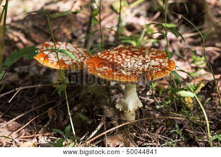 Two Mushroom
