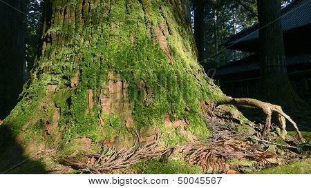 Giant Cedar