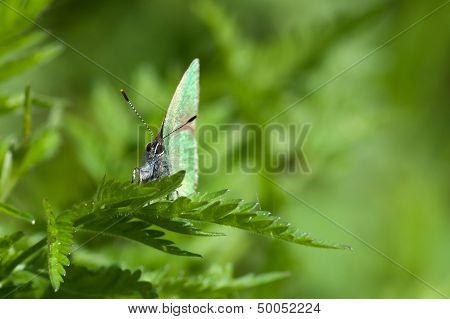 Green Hairstreak (Callophrys Rubi) Butterfly