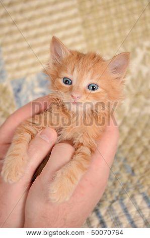 Orange Kitten In Hands