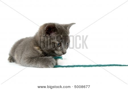 A gray kitten pulls on a green piece of yarn while playing on a white background poster