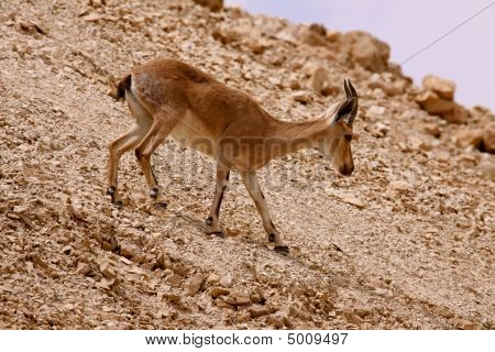 A Fawn On The Hills Of Masada