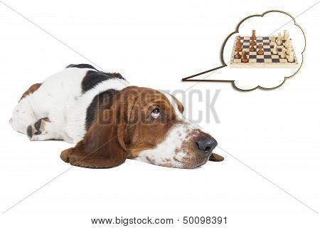 Basset Hound Thinks About Chess