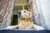 Beautiful Golden Retriever laying at the front door of an old house poster