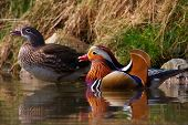 A couple swimming Mandarin ducks in front of the waterside poster