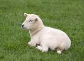 Farm animals: Little lamb laying in the grass poster