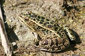 A green frog with black spots in mud in a marsh in Morden, Manitoba, Canada poster