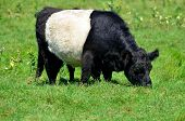 The Belted Galloway is a heritage beef breed of cattle originating from Galloway in South West Scotland, adapted to living on the poor upland pastures and windswept moorlands of the region. poster