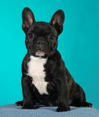 french bulldog puppy 3 months old sitting - brindle  poster