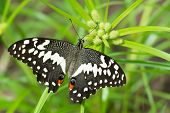 A Citrus Swallow-Tail Butterfly resting on some grass poster