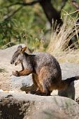Rock wallaby eating some fruit. Shot at Healesville Sanctuary Victoria Australia poster