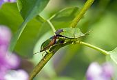 two green big beetles sitting on a branch making love poster