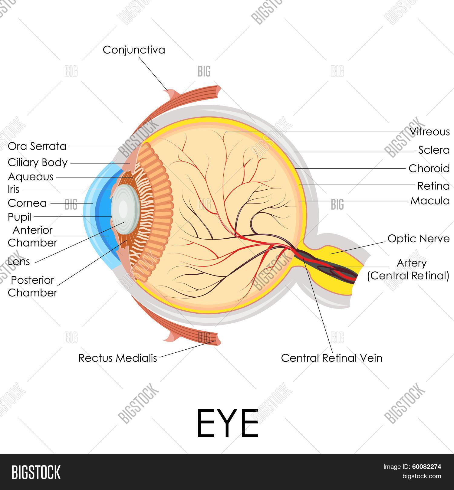Human Eye Anatomy Vector Photo Free Trial Bigstock