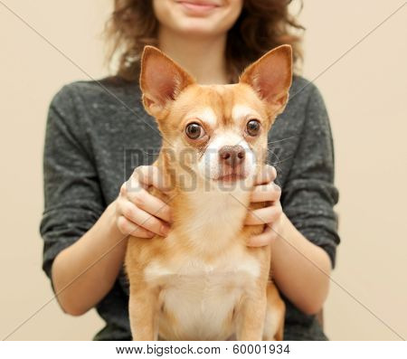 hua chihuahua brown dog in the hands of the mistress