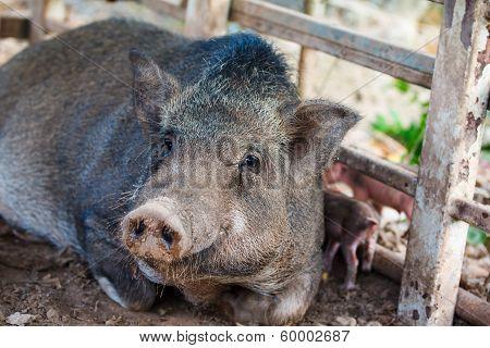 Pig,pet
