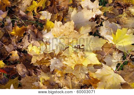 Yellow Maple Carpet At Autumn