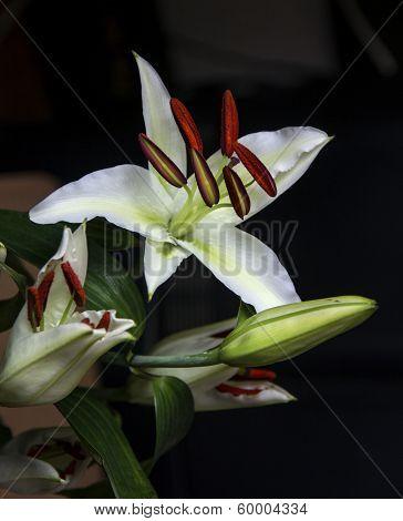 White Lily On Dark Background