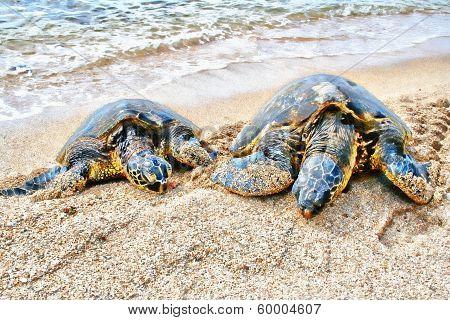 Turtles Haleiwa