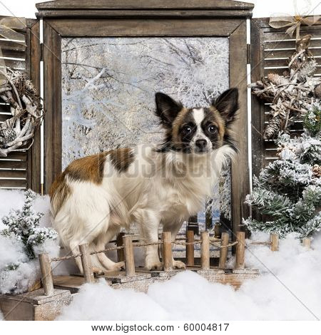 Chihuahua standing on a bridge in a winter scenery
