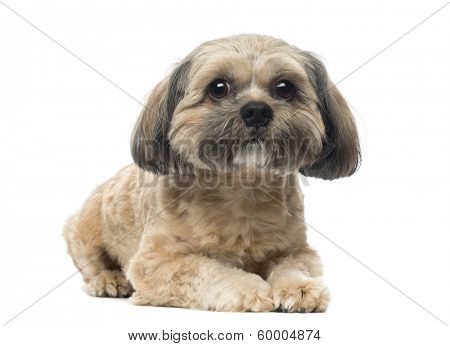 Shih Tzu lying down, looking at the camera, 1 year old, isolated on white