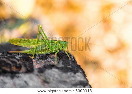 Cricket On A Grey Stone