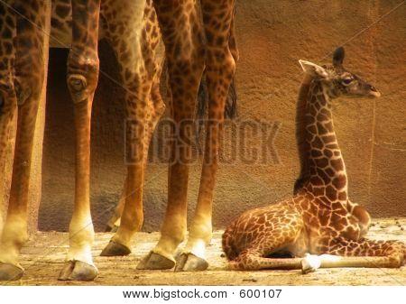 Baby Giraffe And Adult Legs