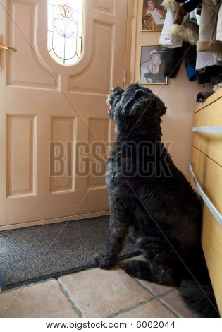 Picture of a Bouvier des Flandres waiting at the front door poster