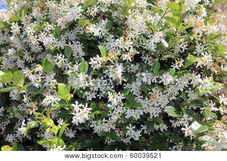 Beautiful Jasmine Flowers